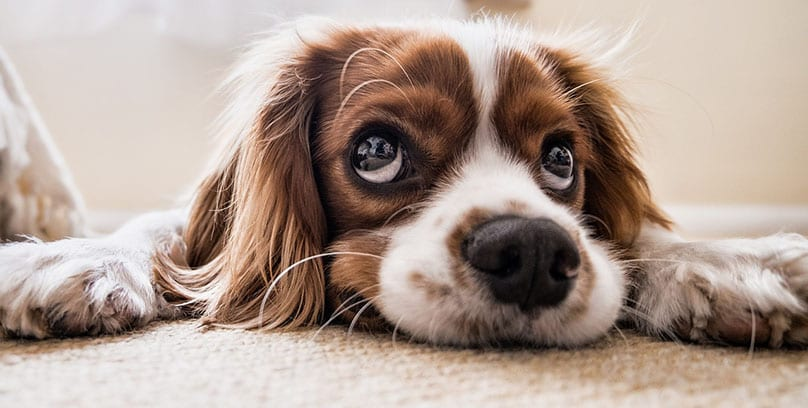 How to get dog poop out of carpet: 10 simple steps you can follow