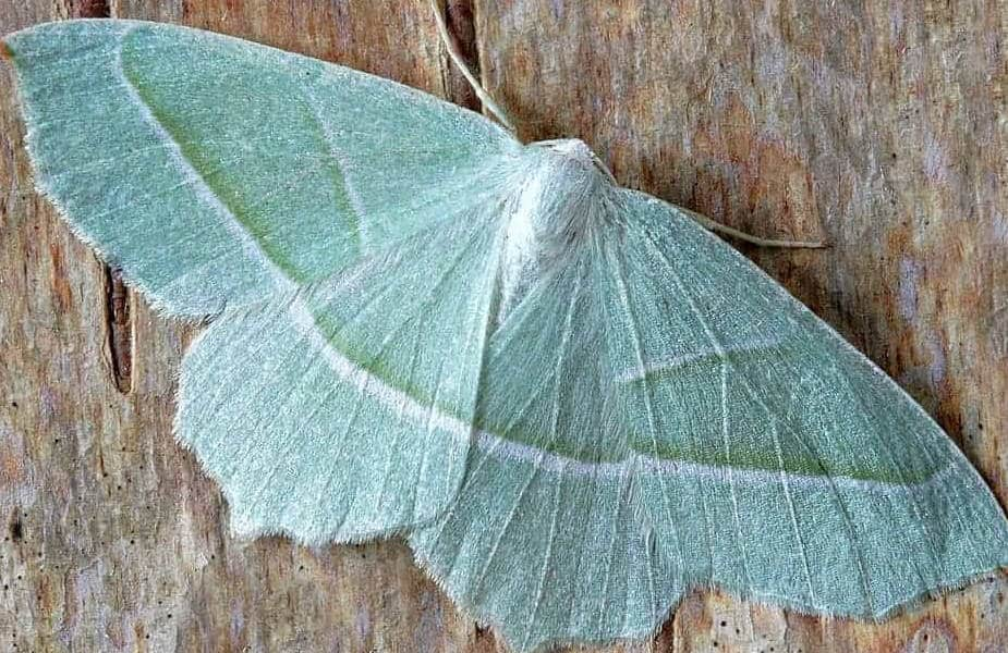 Green Carpet Moth