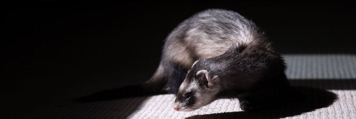 Animals and Carpets Can Cause Fleas