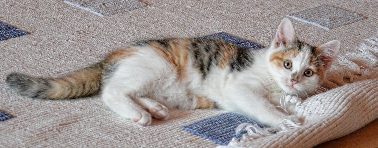 Cat Sitting on a Carpet