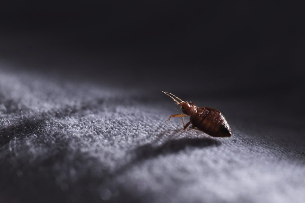 Carpets and Fleas at Home