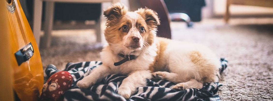 Dog Sitting on a Carpet